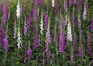 Foxgloves on Whitcliffe